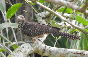 Female Asian Koel  24-Jul-16