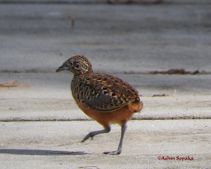 Barred Buttonquail 14 Aug 16