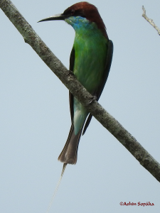 Blue Throated Bee Eater 23 Sep 16a