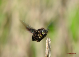 Carpenter Bee 17 Aug 16