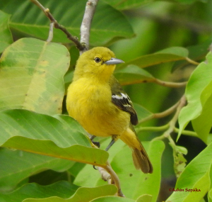 Common Iora 5 May 16