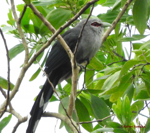 Green Billed Malkoha 7 Aug 16