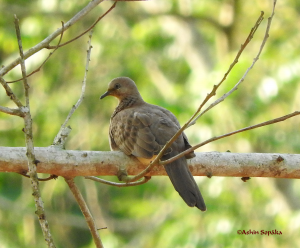 spotted-dove-juvenile-23-jul-16
