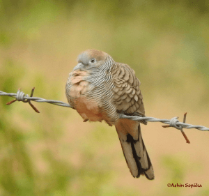 Zebra Dove 28 Sep 16a