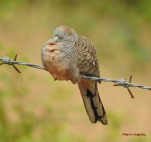 Zebra Dove 28 Sep 16b