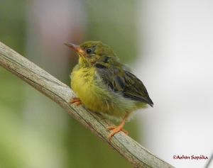 Possibly Juvenile Flowerpecker 1 May 16