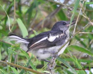 Juvenile Oriental Magpie Robin 26 Apr 16